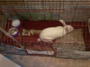 Bunny + hutch for sale $60 for both. Or rabbit $10. Hutch $50