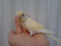 SUPER FRIENDLY BABY BUDGIES HAND RAISED  & TAMED