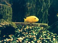 Beautiful electric yellow cichlid for sale
