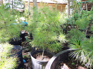 Eastern White Pine Trees