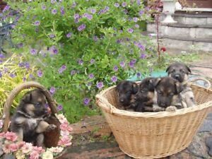 GERMAN SHEPHERD KING PUREBRED - ONE FEMALE PUPPY AVAILABLE