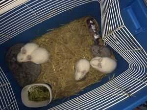 9 baby bunnies for sale