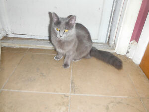 grey cat lost