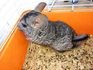 Male chinchilla gris