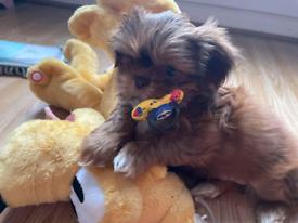 Shih Tzu Puppies X Kennel Club READY Now