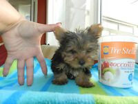 Tiny Tcup T.BEAR YORKIE Boys ~ DOLL FACES~Absolutely STUNNING !!