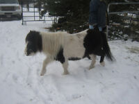 Miniature mare for sale great kids horse