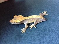 Crested gecko, high pattern