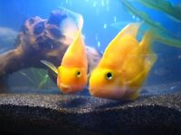 Gorgeous BRIGHT YELLOW Parrot cichlids for sale