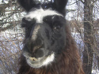 Male Llama proven breeder and excellent guardian