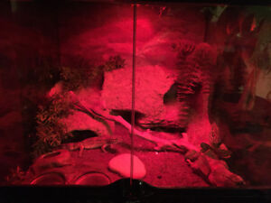 Leopard gecko 1.5 years full equiped