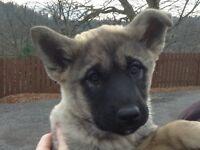 Japanese Akita/German Shepherd pup