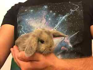 Super sweet, colourful and adorable baby PB Holland Lop bunnies!