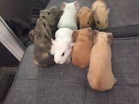 4 beautiful Guinea pig babies