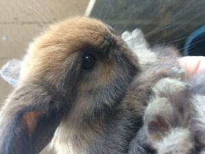 Mini lop baby bunnies