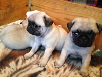Pug puppies but only a boy and girl left