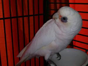 Bare Eyed Cockatoo femelle