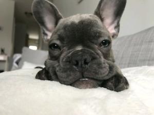 Blue Brindle French Bulldog Puppies / Bouledogue Français