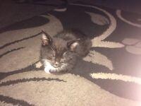 Beautiful make kitten