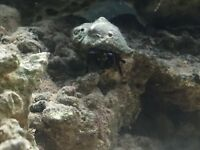Two med/large hermit crabs