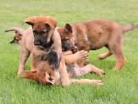 Purebred German Shepherd puppies for sale