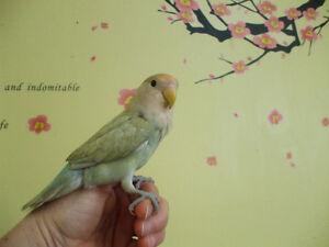 Beautiful baby love birds