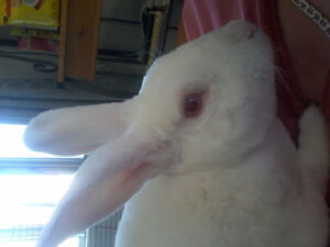 White soft Bunny for a good Loving, caring home.