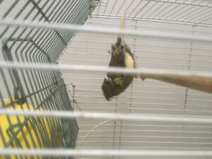 A male. Canary.