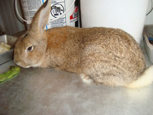 Brown rabbit, male,  giant crossed, 10 month old,