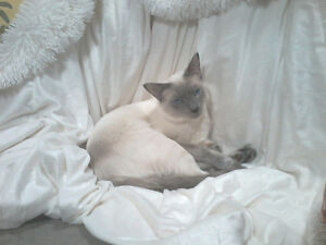 Lilac siamese female wanted