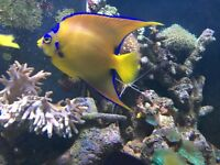 "stunning 5"" queen Angel fish for marine fish tank aquarium"
