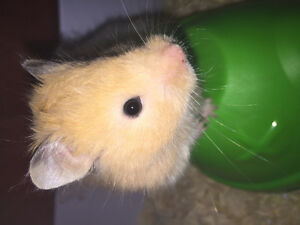 Hamster For Sale Everything Included