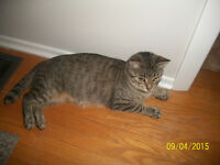 URGENT!!!!  Free to good home, beautiful gray/black tabby
