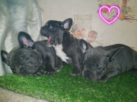 French Bulldog puppies 8 Weeks old