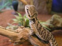 Baby bearded dragons for sale from £40