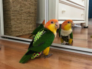 Female White-Bellied Caique Breeder