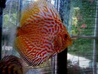 30 Discus fish available, mixed colours and strains feeding really well, aquarium fish tank