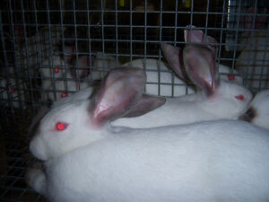 New Zealand White/ Californian Meat Rabbits