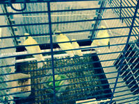 Four Baby canary for sale with Gage