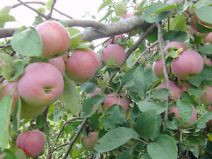 ORGANIC Empire apples for sale, no sprays of any kind