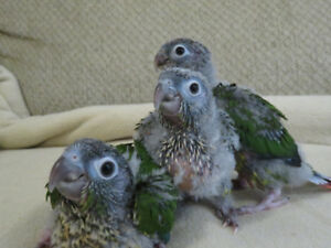 ** SUPER SWEET HANDFED BABY YELLOW SIDED CONURES **ONLY 1 LEFT**