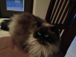 Himalayan cat is looking for a new home