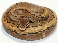 male royal python (pinstripe)