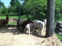 5 Alpagas, 3 femelles et deux mâles