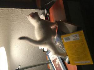 Chatons baby kittens British Shorthair cute sweet white blanc