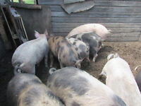 ,bred sows, market hogs, boars,GUILTS AND WEANLINGS