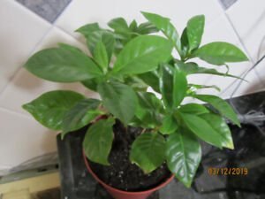 Coffee Plant - Air Purifier Plant