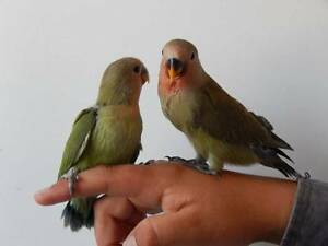 HANDRAISED WHITEFACED COCKATIEL and other birds available soon! Kingston Logan Area Preview