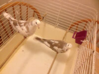 Couples pied ringneck and ringneck doves. ... sale