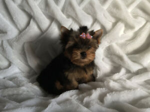 YORKSHIRE TERRIER FEMELLE TOY PARENTS ENRG. CCC.